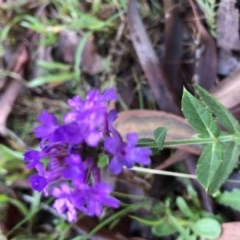 Verbena rigida (Veined Verbena) at Conjola, NSW - 8 Feb 2020 by Tanya