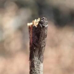 Philobota (genus) (Unidentified Philobota genus moths) at Aranda Bushland - 4 Feb 2020 by CathB