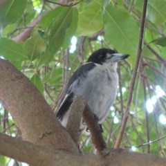 Cracticus torquatus (Grey Butcherbird) at Hughes, ACT - 9 Feb 2020 by JackyF