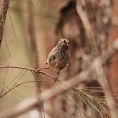 Acanthiza pusilla (Brown Thornbill) at Moruya, NSW - 25 Jan 2020 by LisaH