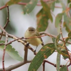 Smicrornis brevirostris (Weebill) at Red Hill Nature Reserve - 6 Feb 2020 by LisaH