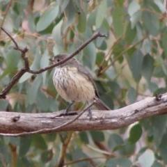Pachycephala rufiventris (Rufous Whistler) at Hughes, ACT - 6 Feb 2020 by LisaH