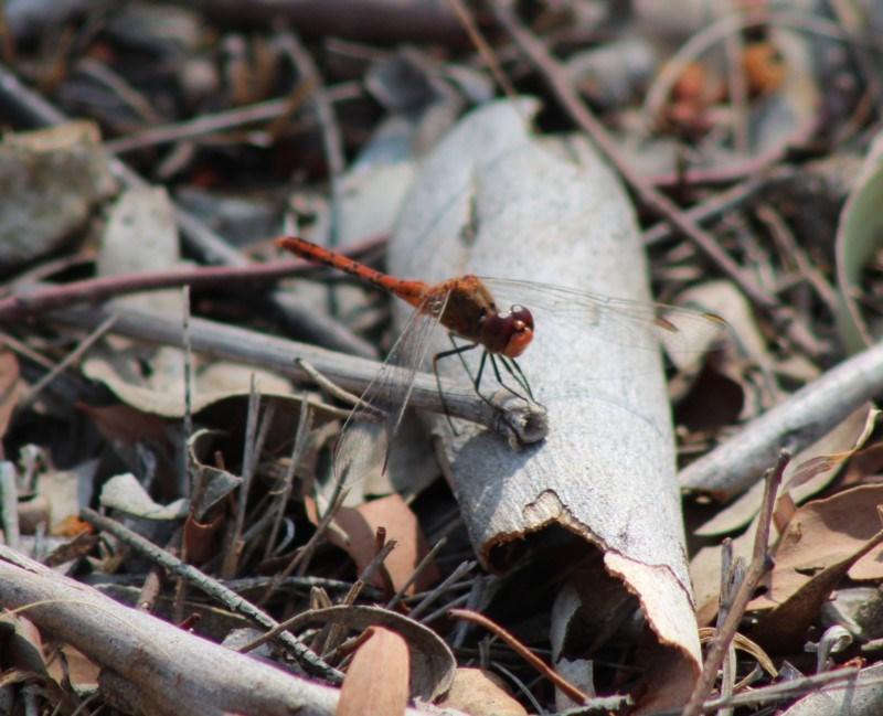 Diplacodes bipunctata at Red Hill Nature Reserve - 4 Feb 2020