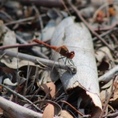 Diplacodes bipunctata (Wandering Percher) at Red Hill Nature Reserve - 3 Feb 2020 by LisaH