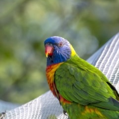 Trichoglossus moluccanus (Rainbow Lorikeet) at Penrose, NSW - 17 Feb 2019 by Aussiegall