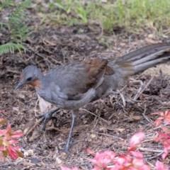 Menura novaehollandiae (Superb Lyrebird) at - 20 May 2019 by Aussiegall