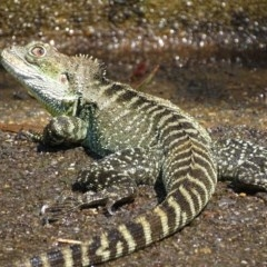 Intellagama lesueurii (Eastern Water Dragon) at ANBG - 5 Feb 2020 by roymcd