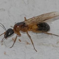 Camponotus consobrinus (Banded sugar ant) at Googong, NSW - 25 Jan 2020 by WHall