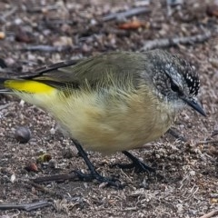 Acanthiza chrysorrhoa (Yellow-rumped Thornbill) at Googong, NSW - 8 Feb 2020 by WHall
