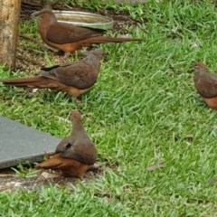 Macropygia (Macropygia) amboinensis (Brown Cuckoo-dove) at Narrawallee Foreshore Reserves Walking Track - 10 Feb 2020 by Paul H