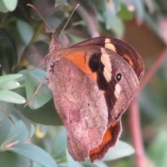 Heteronympha merope (Common Brown) at Flynn, ACT - 10 Feb 2020 by Christine