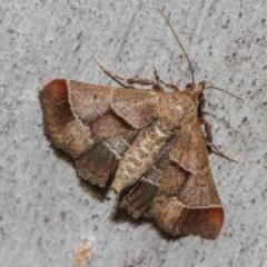 Gauna aegusalis (A Pyralid moth) at Black Mountain - 11 Dec 2017 by Thommo17