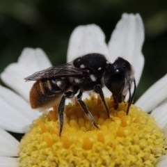 Megachile sp. (several subgenera) (Resin Bees) at Spence, ACT - 10 Feb 2020 by Laserchemisty