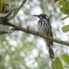 Phylidonyris novaehollandiae (New Holland Honeyeater) at Penrose - 9 Feb 2020 by Aussiegall