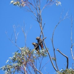 Calyptorhynchus lathami (Glossy Black-Cockatoo) at Penrose - 23 May 2019 by Aussiegall