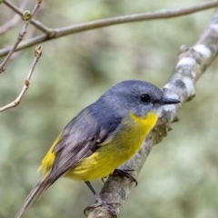Eopsaltria australis (Eastern Yellow Robin) at Penrose - 20 May 2019 by Aussiegall