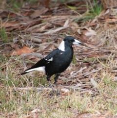 Gymnorhina tibicen (Australian Magpie) at Mittagong, NSW - 7 Oct 2018 by JanHartog