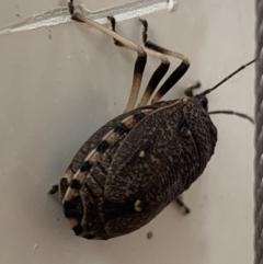 Platycoris (Hypogomphus) bipunctatus at Berry, NSW - 24 Jan 2020