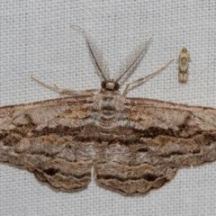 Scioglyptis chionomera (Grey-patch Bark Moth) at Black Mountain - 11 Dec 2017 by Thommo17