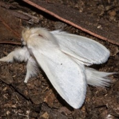 Trichiocercus sparshalli (Sparshall's Moth) at Black Mountain - 11 Dec 2017 by Thommo17