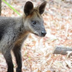 Wallabia bicolor (Swamp Wallaby) at ANBG - 11 Feb 2020 by Christine