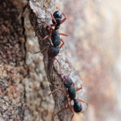 Rhytidoponera sp. (genus) (Rhytidoponera ant) at Mount Painter - 10 Feb 2020 by CathB