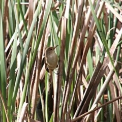 Acrocephalus australis (Australian Reed-Warbler) at Woodlands - 5 Oct 2018 by JanHartog