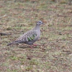 Phaps chalcoptera (Common Bronzewing) at Alpine, NSW - 4 Oct 2018 by JanHartog