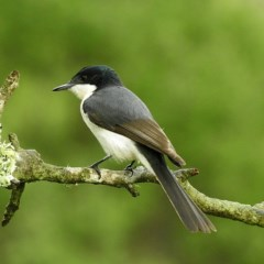 Myiagra inquieta (Restless Flycatcher) at Brogo, NSW - 11 Feb 2020 by MaxCampbell