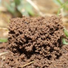 Meranoplus sp. (genus) (Shield Ant) at Evatt, ACT - 10 Feb 2020 by TimL