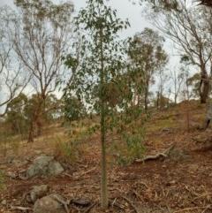 Brachychiton populneus subsp. populneus (Kurrajong) at Dunlop, ACT - 11 Feb 2020 by sangio7
