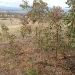 Brachychiton populneus subsp. populneus (Kurrajong) at The Pinnacle - 11 Feb 2020 by sangio7