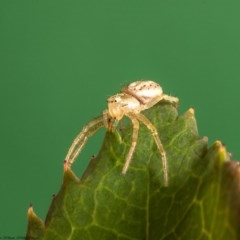 Australomisidia sp. (genus) (Crab spider) at Macgregor, ACT - 10 Feb 2020 by Roger