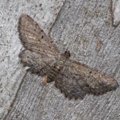 Psilosticha pristis (Little Brown Bark Moth) at Black Mountain - 11 Dec 2017 by Thommo17