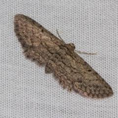 Psilosticha pristis (Little Brown Bark Moth) at Black Mountain - 24 Jan 2018 by Thommo17