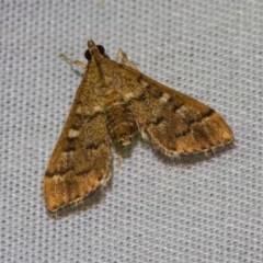 Nacoleia rhoeoalis (A Pyralid Moth) at Black Mountain - 24 Jan 2018 by Thommo17