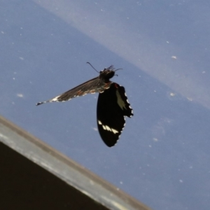 Papilio aegeus at ANBG - 11 Feb 2020