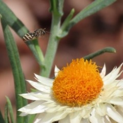 Lipotriches (Austronomia) phanerura at Acton, ACT - 11 Feb 2020
