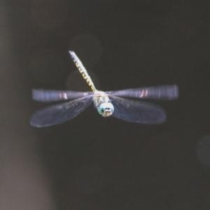 Hemicordulia australiae at ANBG - 11 Feb 2020