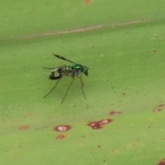Austrosciapus connexus (Green long-legged fly) at ANBG - 11 Feb 2020 by RodDeb