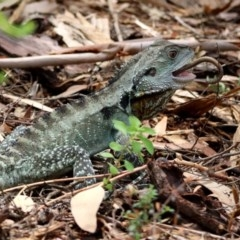 Intellagama lesueurii (Eastern Water Dragon) at ANBG - 11 Feb 2020 by RodDeb