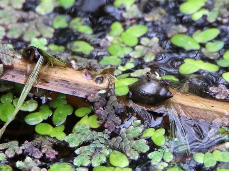 Gastropoda sp. (class) at ANBG - 11 Feb 2020