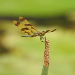 Rhyothemis graphiptera at Berry, NSW - 16 Jan 2020