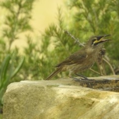 Caligavis chrysops (Yellow-faced Honeyeater) at Berry, NSW - 23 Jan 2020 by Andrejs