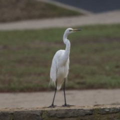 Ardea alba (Great Egret) at Commonwealth & Kings Parks - 11 Feb 2020 by Alison Milton
