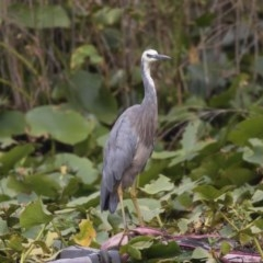 Egretta novaehollandiae (White-faced Heron) at Commonwealth & Kings Parks - 11 Feb 2020 by Alison Milton