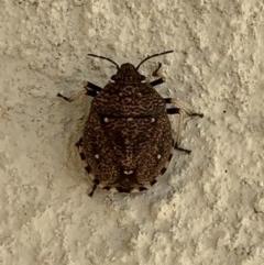Platycoris (Hypogomphus) bipunctatus (Toad Stink Bug) at Berry, NSW - 19 Jan 2020 by Andrejs
