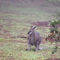 Macropus rufogriseus (Red-necked Wallaby) at Penrose - 11 Feb 2020 by Aussiegall
