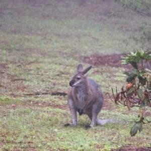 Macropus rufogriseus at Penrose, NSW - 12 Feb 2020