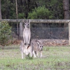 Macropus giganteus (Eastern Grey Kangaroo) at Penrose - 11 Feb 2020 by Aussiegall